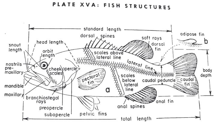 Best 25 Fish Anatomy Ideas Fish Sketch
