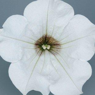 Petunia Surfina Classic (Trailing) White 6 Jumbo Ready Plants