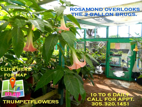 Please Call me for an Appointment. My Honey and me are a very small, specialized Nursery that propagates Brugmansia Cultivars. Since it is also our home, a Phone call is appreciated. Thank you. I have to put up the dog, and unlock the gate, ☺ .