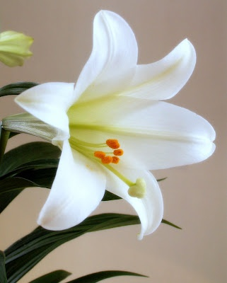 <3 <3 <3 <3 EASTER LILIES. I adore them. Truly. They are my absolute favorite flowers ever. EVER. <3 <3 <3 <3