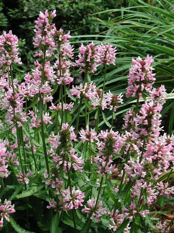 GP 5: stachys officinalis rosea