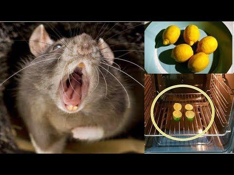 Como Acabar Con Las Ratas En El Campo Increible Tecnica De Limones En El Horno Para Ahuyentar Cucarachas