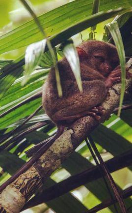 Un des plus petits primates au monde, le Tarsier! Tout délicat, il se repose dans une aire protégée à Bohol, magnifique île des Philippines! <3