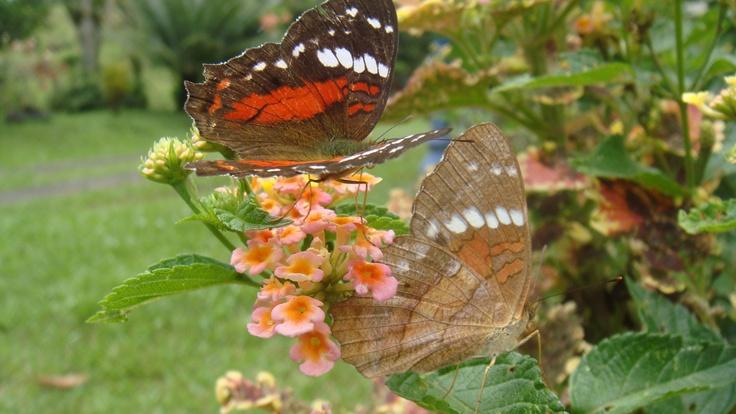 mariposas macho y hembra en cortejo (venecia, antioquia)