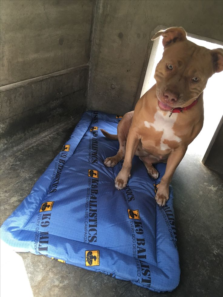 13 best every dog deserves a bed images on pinterest grandes camas this is xena from la animal services she is a 4 year old staff terrier solutioingenieria Image collections
