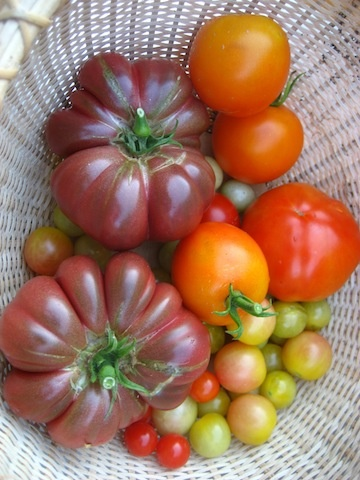 Tomatoes are finally producing (we got them in late this year and it has been HOT!) Love the fluted Constoluto Genovese!