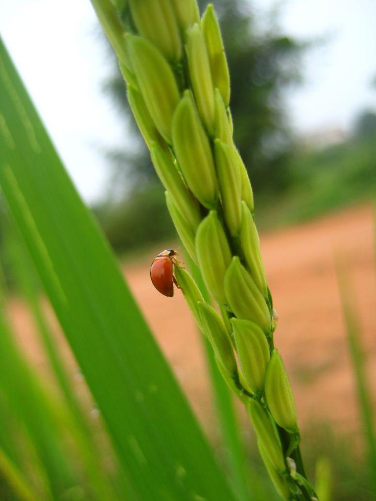 Please meet my 'Lady .... bug.' by Churaipon C. Klaijumlang