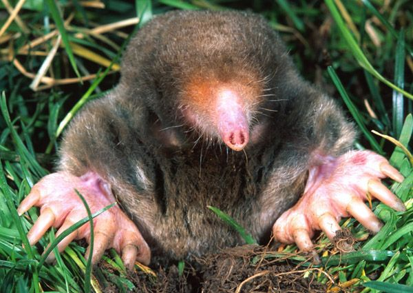 The Eastern mole (Scalopus aquaticus) is the first mammal found to smell in stereo.