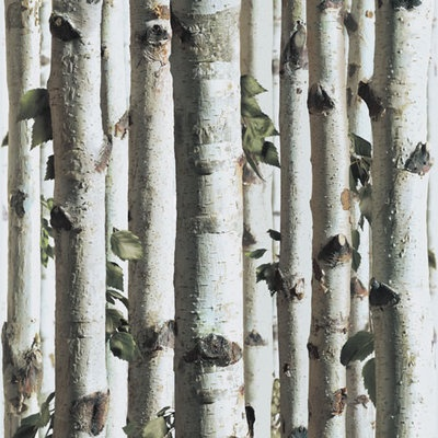 92 best images about birch trees on pinterest trees. Black Bedroom Furniture Sets. Home Design Ideas