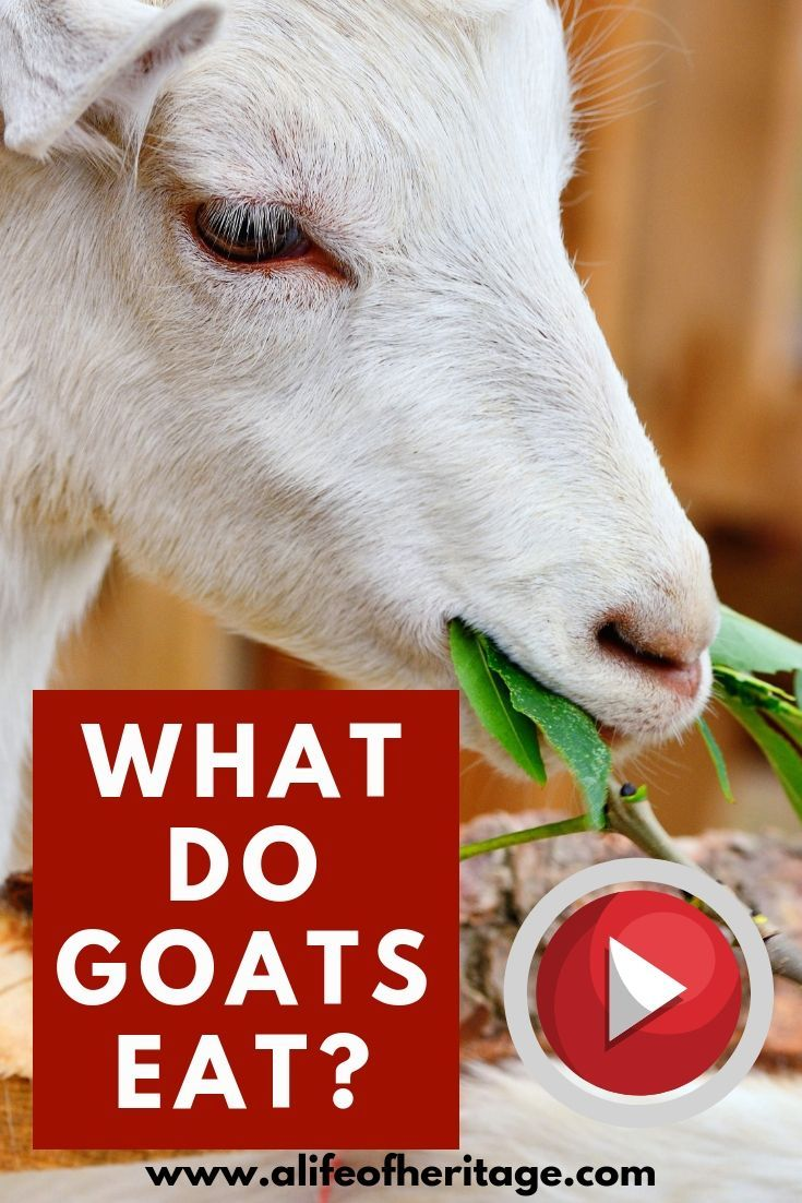 What Do Goats Eat You Need To Know If You Want To Raise Healthy Goats Raise Goats With All The Knowledge You Can Goats Dairy Goats Goat Care