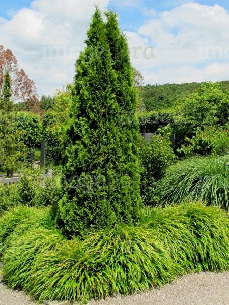 25 best thuja occidentalis smaragd ideas on pinterest thuja hecke kaufen thuja kaufen and. Black Bedroom Furniture Sets. Home Design Ideas