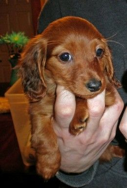 Tiny dogs, like this Miniature Dachshund, can be a handful.