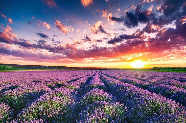 Lavendelfält i Provence #frankrike #lavendel #fält #provence #travel #resa #semester