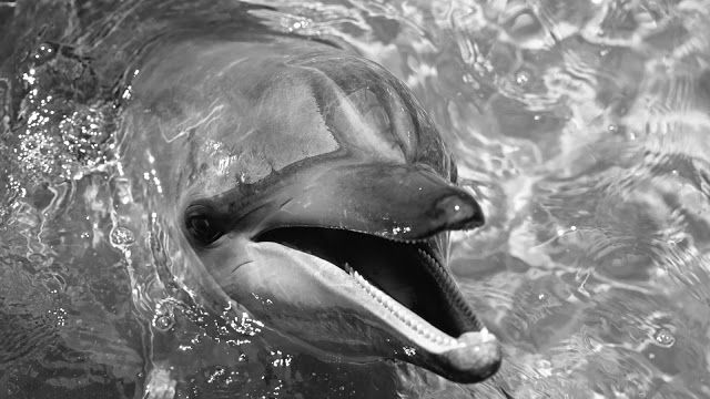 Dolphin black and white photo