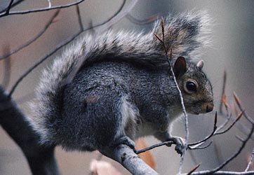 Eastern gray squirrel, VT