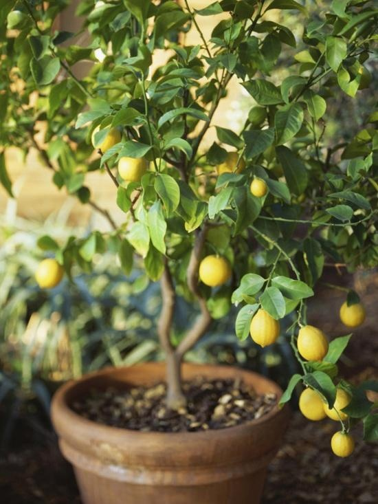 Citrus Trees grow well in containers on a sunny patio. Containers also allow for plants to be brought inside when it gets cool.
