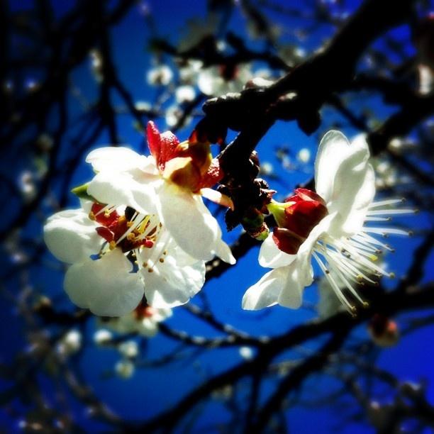 Peach Blossom - Stanthorpe, QLD, Australia. itakephotosofflowers.com