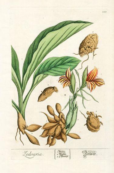 Elizabeth Blackwell Herbarium Prints 1757  White Tumeric