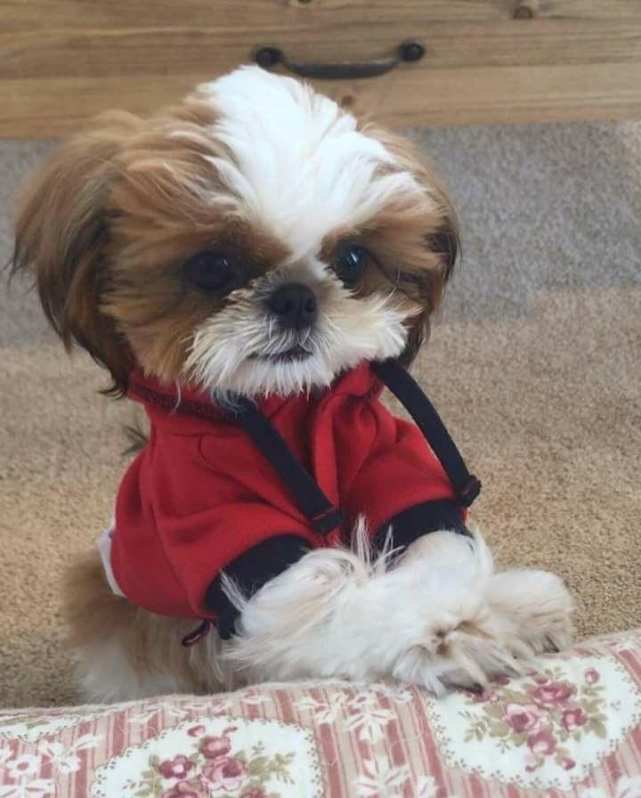 Shih Tzu Too Adorable Shihtzu Shih Tzu Shih Tzu Puppy