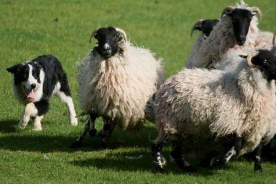 Ciobanii pot avea câţi câini vor, dar păşunatul se face doar pe terenuri proprii până la 31 martie http://www.antenasatelor.ro/cre%C5%9Fterea-animalelor/8338-ciobanii-pot-avea-cati-caini-vor,-dar-pasunatul-se-face-doar-pe-terenuri-proprii-pana-la-31-martie.html