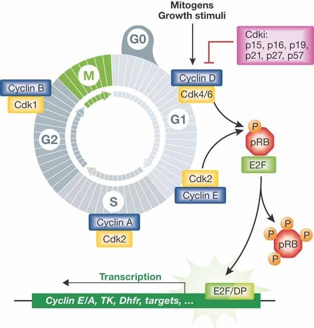 Molecular Regulation of c... - Yale Image Finder