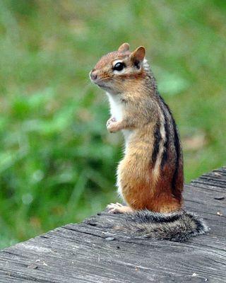 do wild mice hibernate | The Zen Birdfeeder: Squirrels