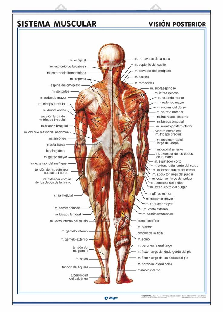 Muscular System - Back view | Fitness | Pinterest | Muscular system