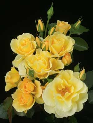 skys the limit climbing yellow rose