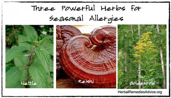 Herbs for allergies are some of the best home remedies for allergies. They provide natural allergy relief in various ways. They can support the immune system to decrease overall symptoms and they can block histamine and reduce the symptoms during an acute stage of seasonal allergies. Herbs for allergies, along with diet and lifestyle changes can be the best forms of organic allergy relief.