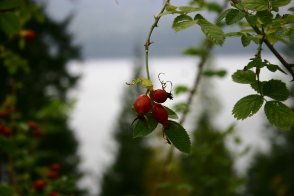 Rose hips - Ainsworth Hot Springs BC