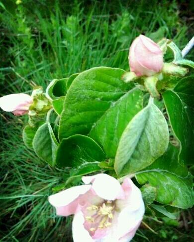 Flor de Membrillo