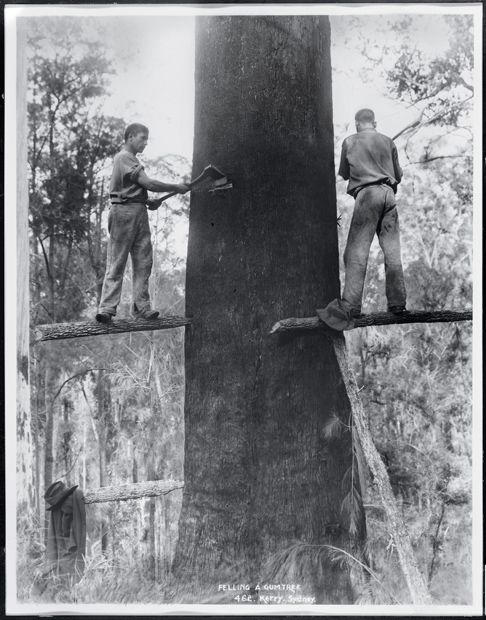 Images of Australia:  the Tyrrell Collection of photographs of Australias history. Blades and brawn. Skilled axemen prepare to fell a giant gum tree with the power of the axe alone. Great skill was required on the part of the axemen balancing several metres above the ground. Felled trees were then cut into smaller sections with crosscut saws ready to be hauled away by bullock teams.
