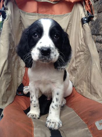 English Springer Spaniel Information and Pictures, English Springer Spaniels