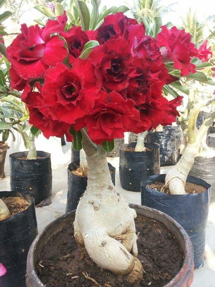 how to create a desert rose bonsai