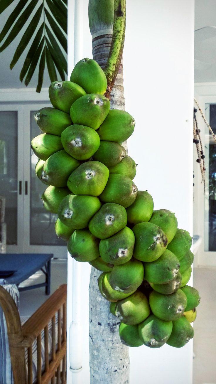 Aplicação de cacho em palmeira.