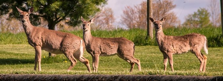 White Tail Deer Facts - Dogs Cats and Wild Animals Blog