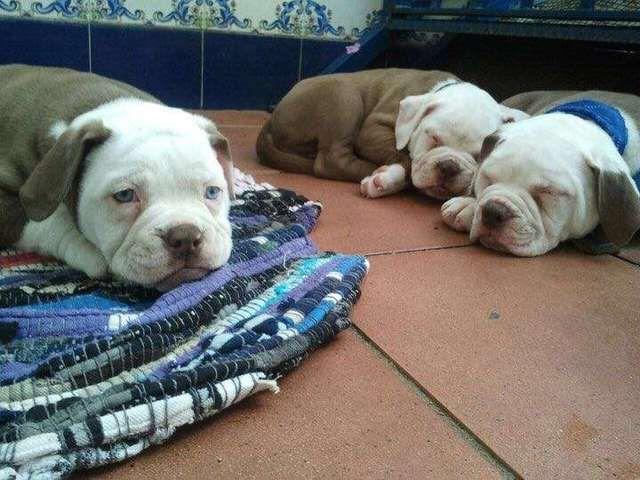 MIL ANUNCIOS.COM - Bulldog americano. Compra-venta de otras razas de perros bulldog americano.