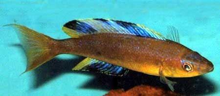 Cyprichromis microlepidotus mabilibili, Cichlid del lago Tanganyika