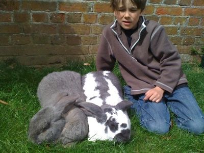 Gallery For > Giant Lop Eared Rabbit Breeds