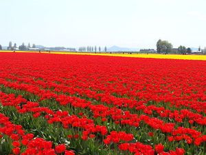 8 must-visit places in the Pacific Northwest (pictured: tulip in the Skagit Valley, WA)