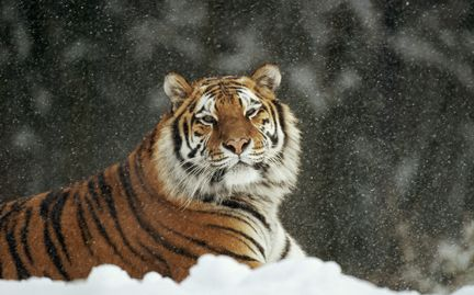 Supporting the World Wildlife Fund's efforts to protect the Tiger & other species