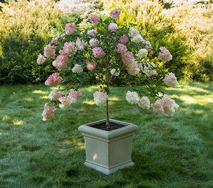 Hydrangea paniculata Vanilla Strawberry™ in tree form. I want this!!!!