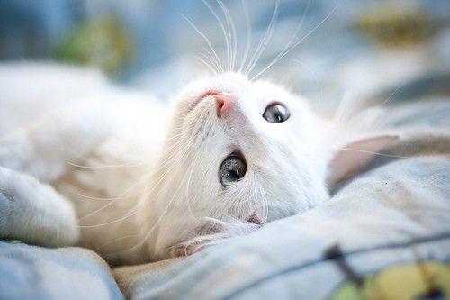 kitten, white.