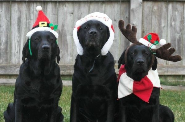 christmas labs | All I want for Christmas are my 3 black labs... | Dogs Make me Happy