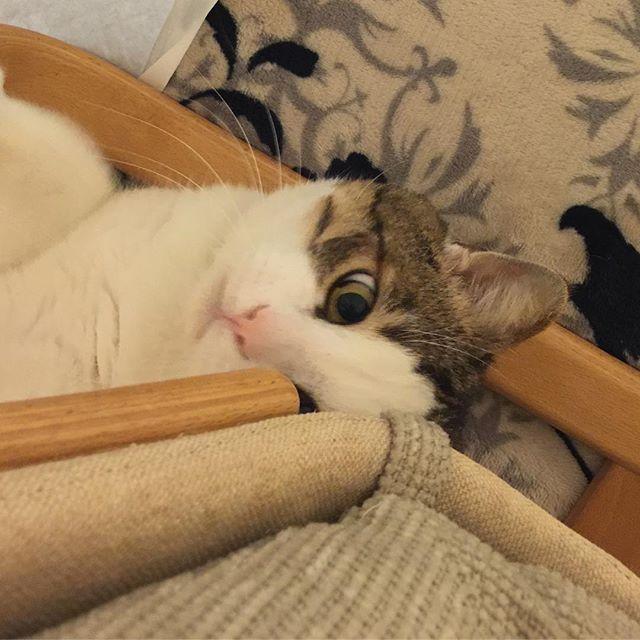 椅子の下からこんにちわ  #猫 #ねこ #ネコ #ネコ部 #キジシロ #きじしろ #デブ猫 #でぶねこ #愛猫 #ねこスタグラム #cat #元野良猫 #可愛い