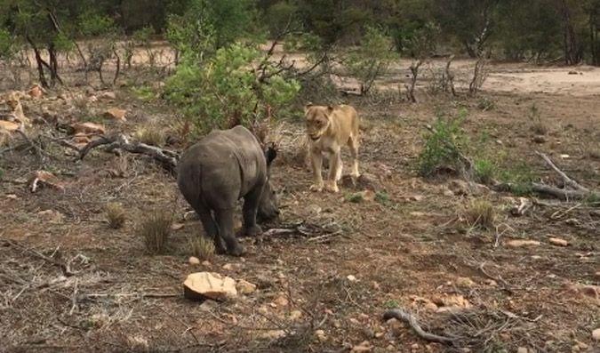 An unusual sighting between a lion and a rhino at Tanda Tula