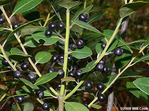 Inkberry Ilex Glabra Holly Shrub 8 Ft Good For Birds