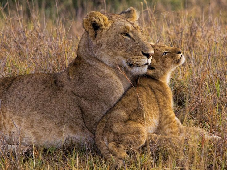 Baby Lion with Mother - Henry Jager