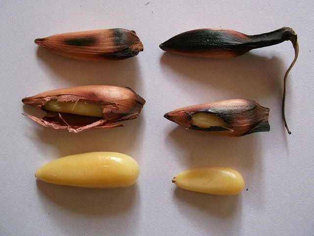 Some roasted and peeled Pignons, the seeds of the Araucaria Araucana or Chilean…