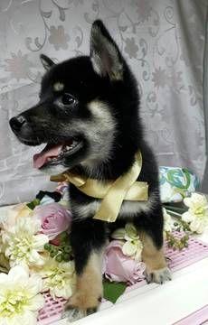 Shiba Inu puppy for sale in LOS ANGELES, CA. ADN-51139 on PuppyFinder.com Gender: Male. Age: 10 Weeks Old